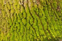 Corteccia della quercia Immagini Stock Libere da Diritti