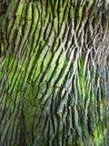 Corteccia della quercia Fotografia Stock Libera da Diritti