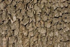 Corteccia della quercia Immagine Stock Libera da Diritti