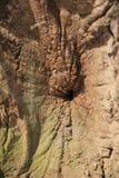 Corteccia della quercia Fotografie Stock