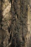 Corteccia della quercia Immagini Stock