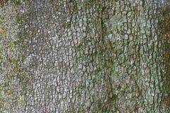 Corteccia della quercia di Holm Fotografia Stock Libera da Diritti