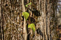 Corteccia della quercia serica del sud fotografie stock libere da diritti