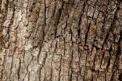 Corteccia della quercia serica del sud Immagini Stock