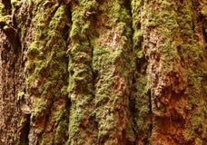 Corteccia della sequoia gigante fotografie stock libere da diritti