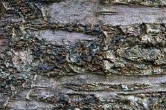 Corteccia dettagliatamente di un ciliegio acido Fotografia Stock Libera da Diritti