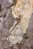 Corteccia di albero Fotografia Stock Libera da Diritti