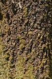Corteccia di albero Immagine Stock