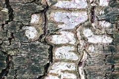 Corteccia di albero Fotografie Stock Libere da Diritti