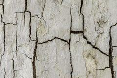 Corteccia di albero bianca Fotografia Stock