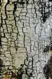 Corteccia di albero di Brown in natura fotografie stock libere da diritti