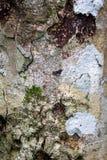 Corteccia di albero con il lichene Fotografie Stock Libere da Diritti