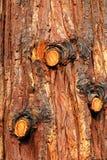 Corteccia di albero del pino immagine stock