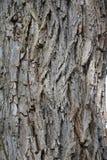 Corteccia di albero del salice Fotografia Stock