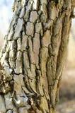 Corteccia di albero dell'acero con molte crepe profonde Fotografia Stock