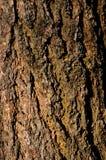 Corteccia di albero dell'albicocca Fotografia Stock