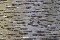 Corteccia di albero dell'Aspen immagini stock