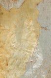Corteccia di albero dell'eucalyptus Fotografia Stock