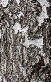 Corteccia di albero della betulla Fotografia Stock