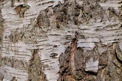 Corteccia di albero della betulla con le crepe nella forma di X Fotografia Stock Libera da Diritti