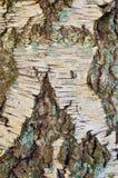Corteccia di albero della betulla con le crepe nella forma di X Fotografia Stock