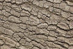 Corteccia di albero della quercia Fotografie Stock