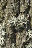Corteccia di albero della quercia Fotografie Stock Libere da Diritti