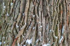 Corteccia di albero della quercia Fotografia Stock Libera da Diritti