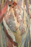 Corteccia di albero di eucalyptus deglupta Immagine Stock