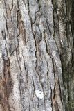 Corteccia di albero di mogano Fotografia Stock Libera da Diritti