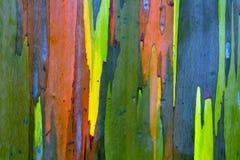 Corteccia di albero dipinta dell'eucalyptus Fotografie Stock