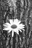 Corteccia di albero e della margherita fotografia stock libera da diritti
