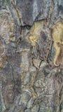 Corteccia di albero di mogano fotografia stock