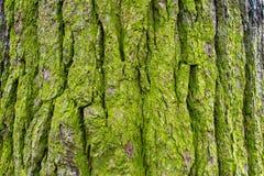 Corteccia di albero muscosa 2 Fotografia Stock
