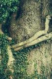 Corteccia di albero nelle radici ed in vite Fotografie Stock Libere da Diritti