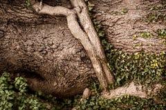 Corteccia di albero nelle radici ed in vite Immagini Stock Libere da Diritti