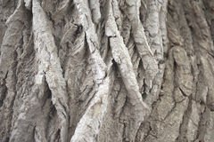Corteccia di albero profondamente scanalata Fotografie Stock
