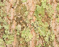 Corteccia di albero reale Fotografie Stock Libere da Diritti
