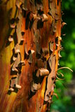 Corteccia di albero riccia Fotografie Stock