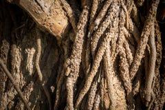Corteccia di albero rustica di Brown per struttura fotografie stock