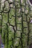 Corteccia di albero spezzettata Fotografie Stock Libere da Diritti