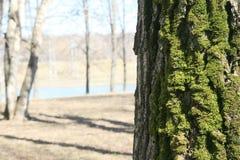 Corteccia di albero sul fondo della sfuocatura Immagini Stock Libere da Diritti