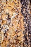 Corteccia di albero sulla traccia superiore del ciclo di Bristlecone, Mt Charleston, Nevada immagini stock libere da diritti