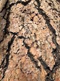 Corteccia di albero sulla traccia superiore del ciclo di Bristlecone, Mt Charleston, Nevada fotografie stock