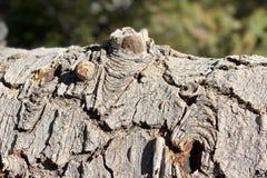 Corteccia di albero sulla traccia superiore del ciclo di Bristlecone, Mt Charleston, Nevada immagini stock