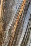 Corteccia di albero sulla traccia superiore del ciclo di Bristlecone, Mt Charleston, Nevada immagine stock libera da diritti