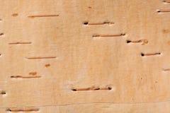 Corteccia di betulla Fotografia Stock