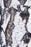 Corteccia di betulla immagini stock