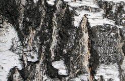 Corteccia di betulla Immagini Stock Libere da Diritti