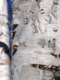 Corteccia di betulla Immagine Stock